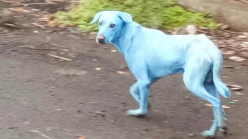 Industrielles Abwasser lässt streunende Hunde in Indien blau anlaufen [VIDEO]