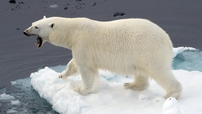 Norwegischer Reiseführer muss 1.300 Euro Buße wegen Störung eines Eisbären zahlen