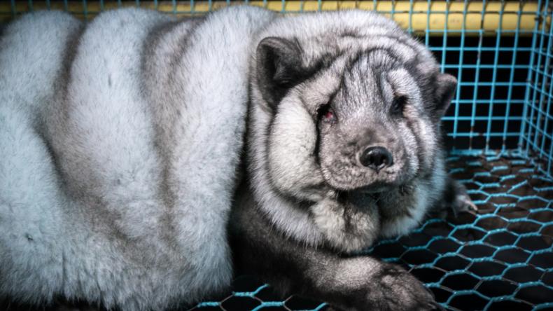 Finnische Tierschützer fordern Schließung der Farm, wo Polarfüchse an Übergewicht sterben