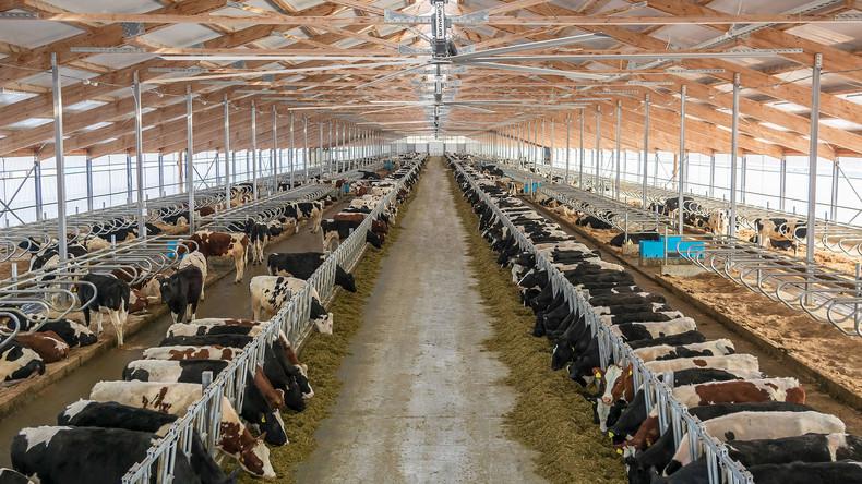 Ausweg bei Lebensmittel-Embargo: Milchproduzent Danone schickt 5.000 Kühe nach Sibirien