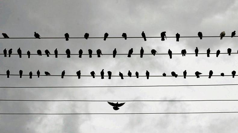 Fliegende Drogendealer: Iranische Polizei nimmt hundert Tauben fest