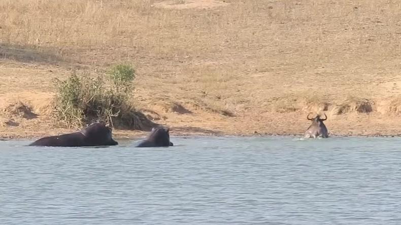 Savanne-Bodyguards im Dienst: Flusspferde verjagen Krokodil, das Gnu fressen wollte [VIDEO]
