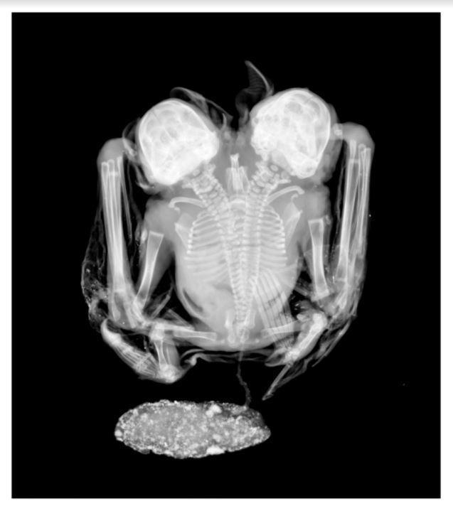 Siamesische Fledermaus versetzt brasilianische Wissenschaftler in Staunen [FOTO]