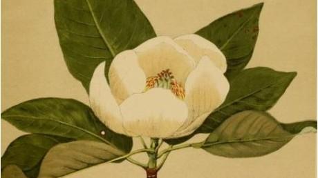 Wie eine Magnolie oder Lilie soll sie ausgesehen haben, die Ur-Blume. Symbolbild: Magnolia virginiana (in: American Medicinal Plants aus dem Jahr 1887)