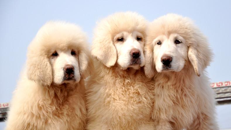 US-Gericht lässt Teile der Stimmbänder bei Hunden entfernen, die laut wie Schießanlage bellen
