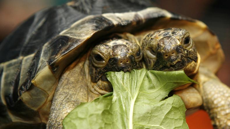 Zweiköpfige Schildkröte feiert 20. Geburtstag