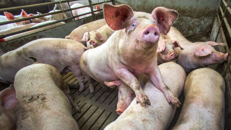 Durch deutsche und dänische Schweine sollen sich Tausende Engländer mit Hepatitis E infiziert haben