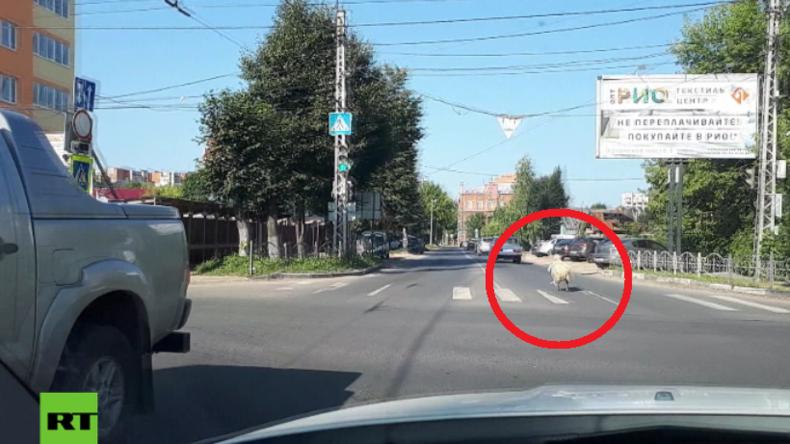 Russland: Näääää, nicht mit mir! Schaf flieht vor Opferfest und bleibt unauffindbar