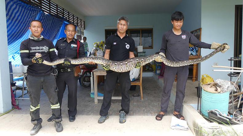 Python verschlingt komplette Hauskatze in Thailand [VIDEO]