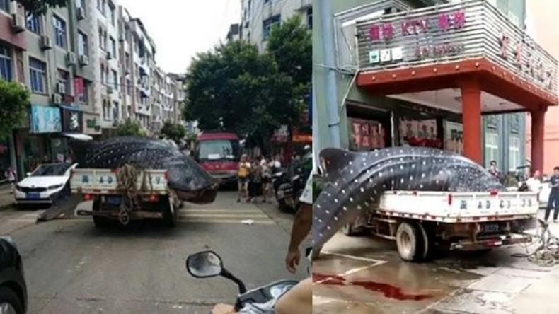 Chinesischer Netzfischer versucht riesigen gefährdeten Walhai zu verkaufen und wird verhaftet [FOTO]