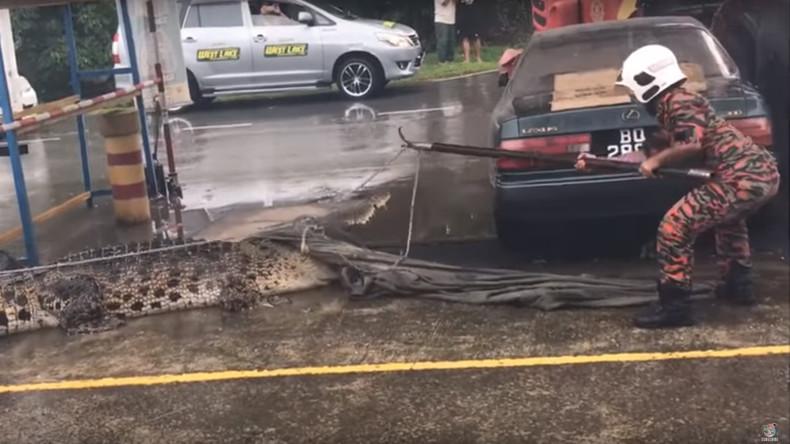 Rodeo mit Krokodil: Malaysische Feuerwehr weiß keinen Rat [VIDEO]
