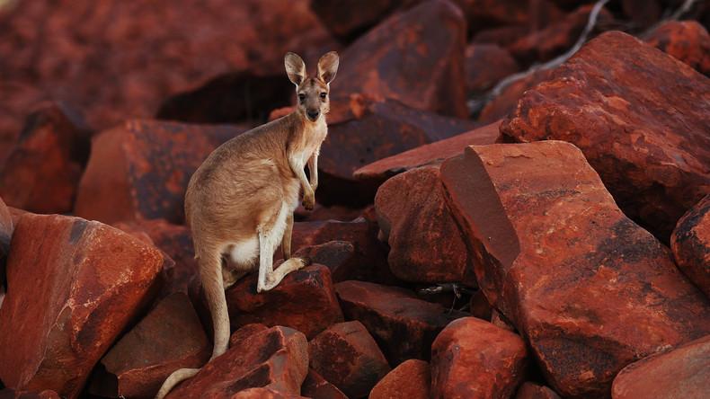 """""""Vor allem als Bolognese lecker"""": Australier sollen mehr Kängurus essen"""