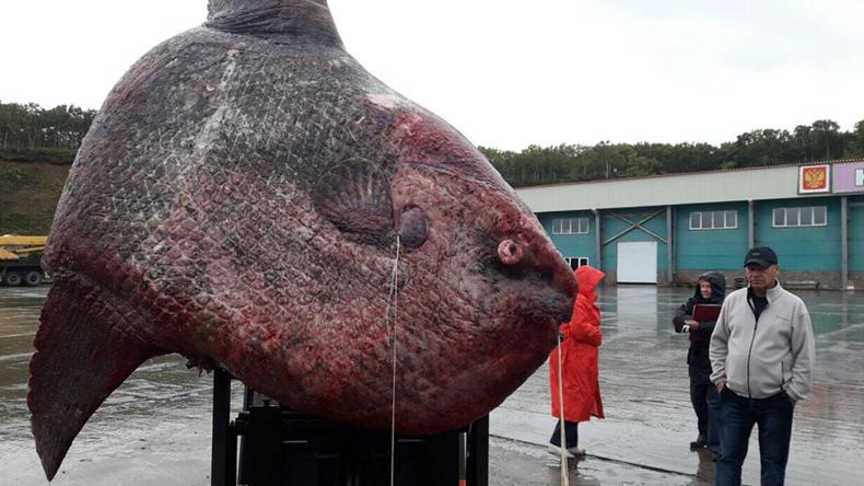 Monströser tonnenschwerer Mondfisch in Russlands Fernost gefangen [FOTOS]
