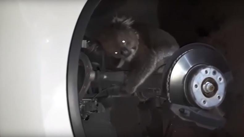 Koala fährt fast 20 Kilometer als blinder Passagier unter Auto mit [VIDEO]