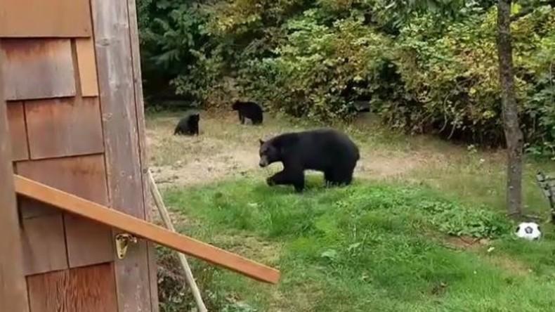 Höflicher Kanadier überredet drei Bären wegzugehen [VIDEO]