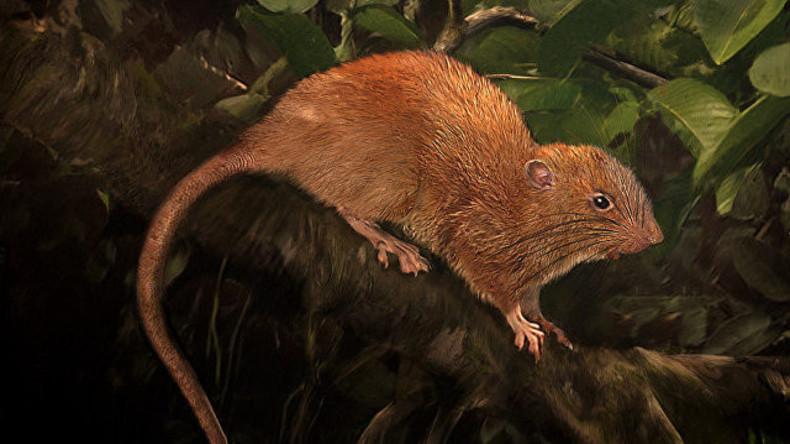 Forscher entdecken riesige neue Rattenart in Südsee