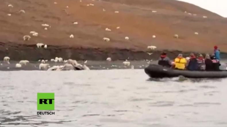 Einzigartige Naturaufnahmen aus Russland: Walkadaver lockt über 230 Eisbären an