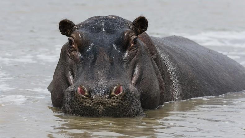 Über 100 Nilpferde sterben in Namibia: Behörden vermuten Milzbrandausbruch
