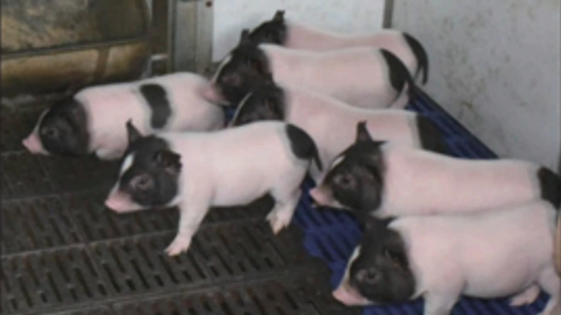 Fettlose Schweine in China gezüchtet
