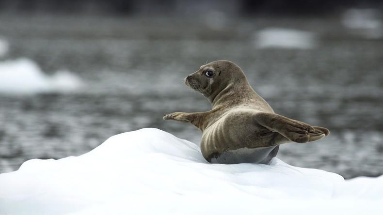 Seehund auf Startbahn von Flughafen Alaska gefunden