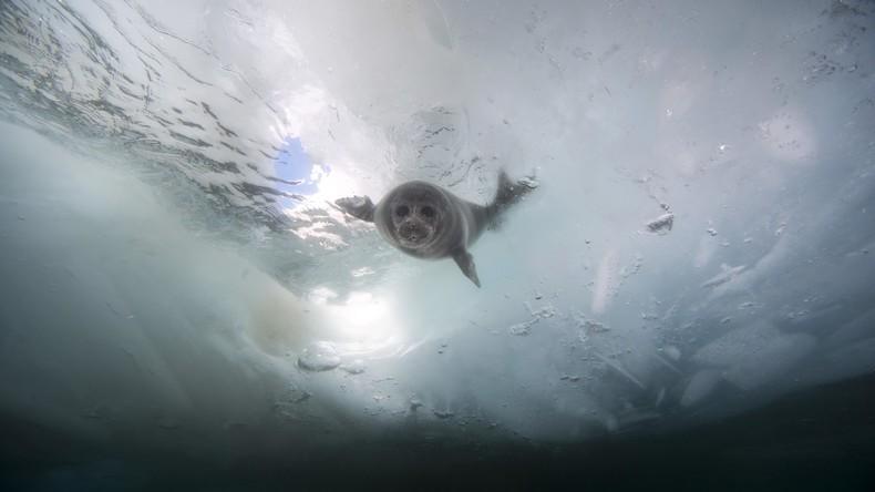 Massensterben am Baikalsee: Umweltschützer finden 132 tote Robben ohne sichtbare Verletzungen