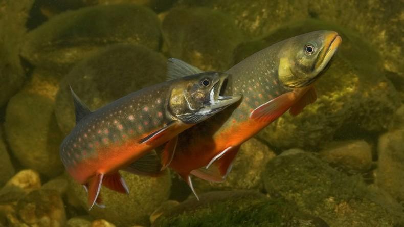 Mann macht sich an Fischzuchtanlage zu schaffen – 1,5 Tonnen Saiblinge verendet