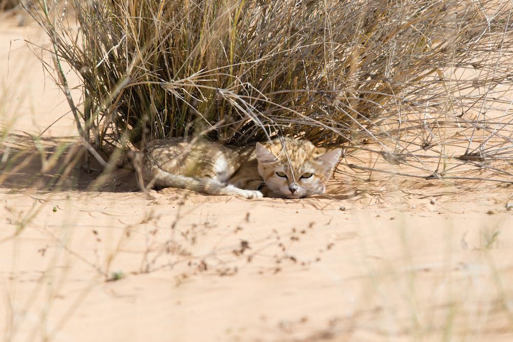 Seltene Sandkatzenbabys zum ersten Mal in Sahara gefilmt [VIDEO, FOTOS]