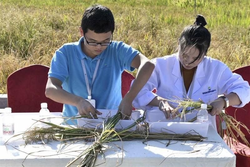 China züchtet Reissorte, die in Salzwasser gedeiht und 200 Millionen Menschen ernähren kann