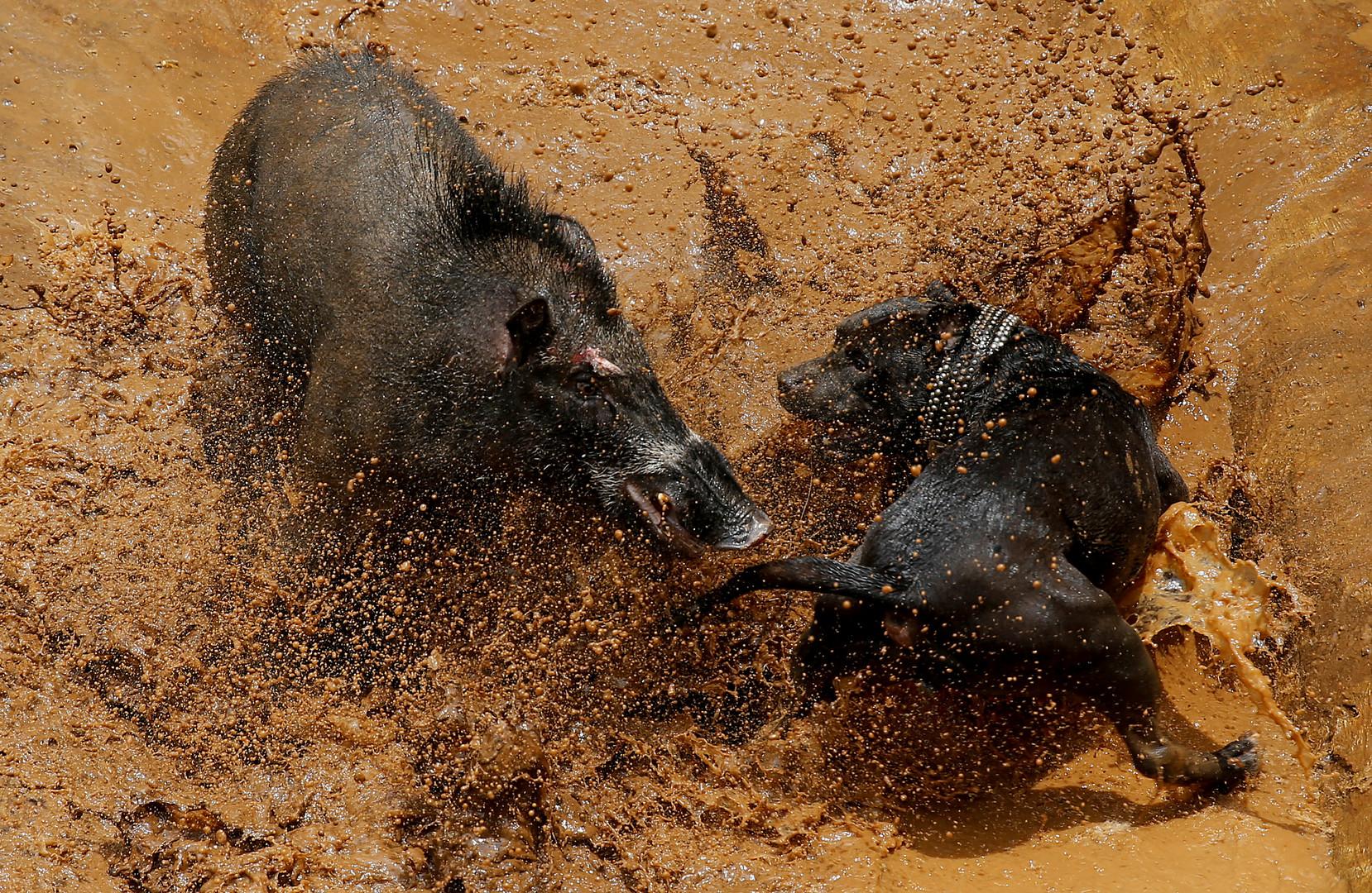 Pitbull vs. Wildschwein: Traditioneller Wettkampf auf Java sorgt für Empörung bei Tierschützern