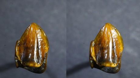 Bei dem Fund handelt es sich um die Kronen eines rechten oberen Backenzahns und eines linken oberen Eckzahns. Offenbar wurden die Zähne nur 60 Zentimeter voneinander entfernt gefunden.