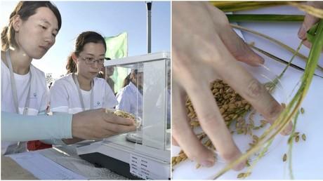 China entwickelt Sorte salzwasserresistenten Reises, die 200 Millionen Menschen ernähren kann