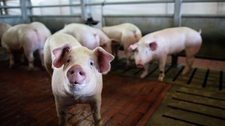 Russland erweitert Liste des Lebensmittel-Embargos – Einfuhr von Schweinen verboten