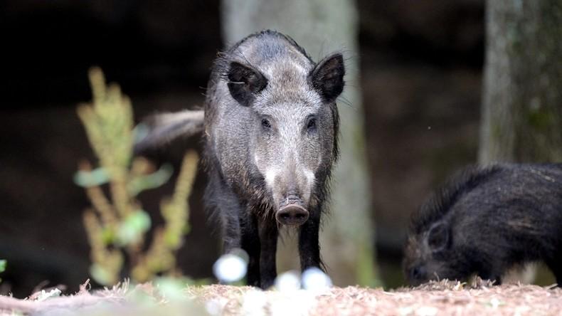 Mann stellt im Garten Selbstschussanlage gegen Wildschweine auf und trifft Menschen