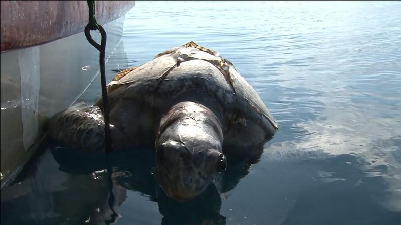 Rote Flut bringt Schildkröten vor El Salvadors Küste um