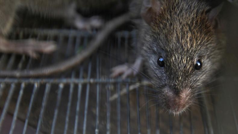 Zweiter Weltkrieg: Wie die Japaner in Singapur Rattenflöhe mit Beulenpest züchteten