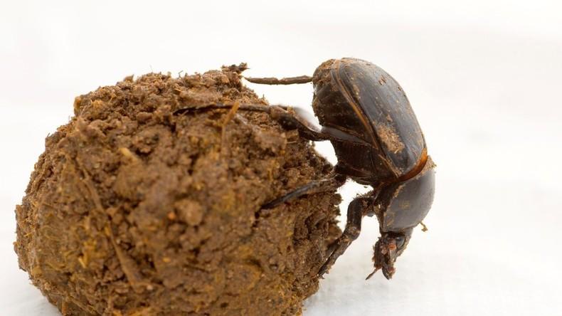 Modifizierter Mistkäfer: Genforscher kreieren erste dreiäugige Kreatur