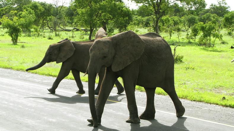 Einfuhr von Elefanten-Trophäen aus Simbabwe und Sambia in USA wieder erlaubt