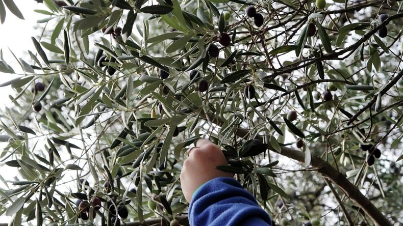 Dura lex, sed lex: USA erheben Strafzölle auf spanische Oliven