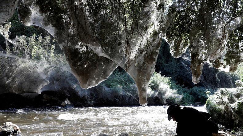 Zauberwald: Riesige Spinnennetze durchziehen Bäume am Flussufer bei Jerusalem [FOTOS]
