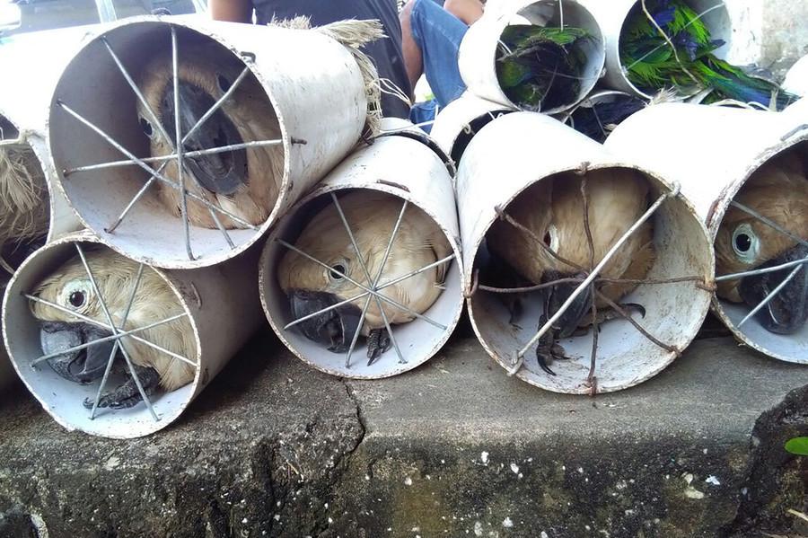 Exotische Vögel in Drainrohre gesteckt: Indonesische Polizei nimmt Tierschmuggler fest [FOTOS]