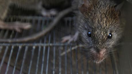 (Symbolbild). Viele Tiere dienen in Form von Wirten oder Zwischenwirten als Überträger von Krankheiten. Bekannte Überträgertiere sind etwa Ratten, Milben oder Tierläuse für die Pest.