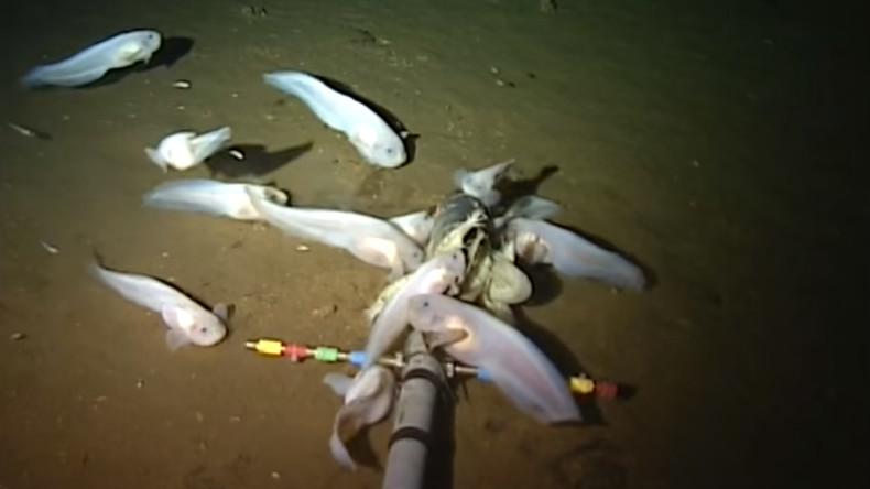 Kein bislang bekannter Fisch lebt tiefer: Wissenschaftler filmen seltsame Tiere im Marianengraben