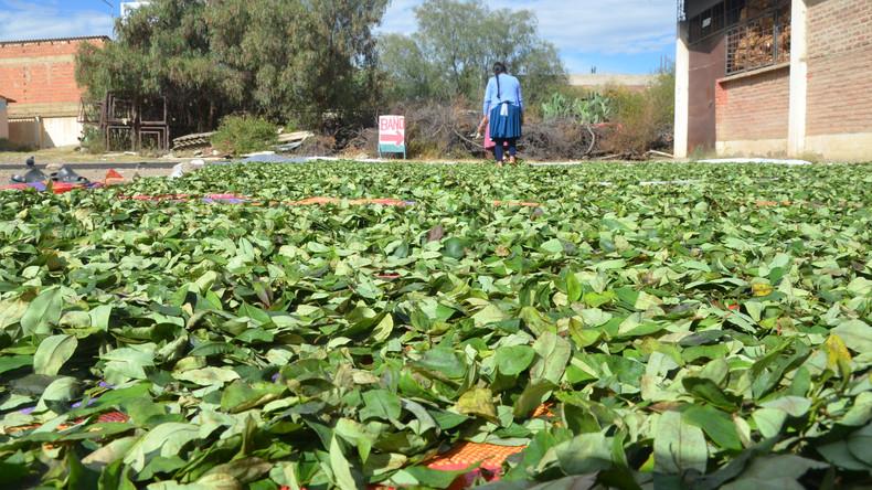 Mehr als 50.000 Hektar Koka-Plantagen in Kolumbien vernichtet