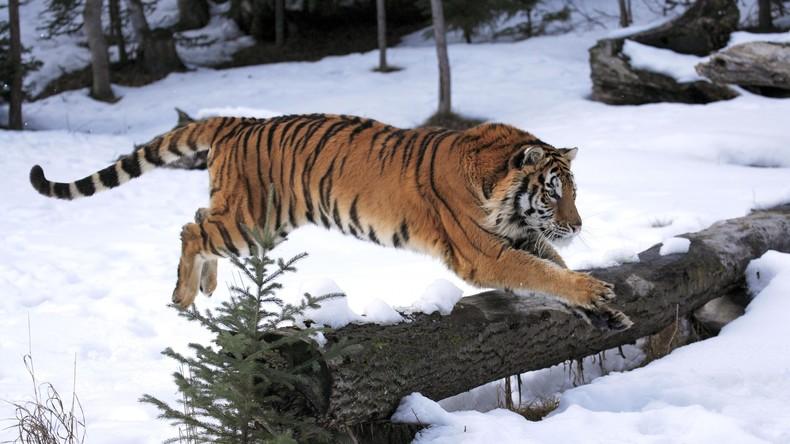 No Paparazzi: Tiger machen Drohne kaputt
