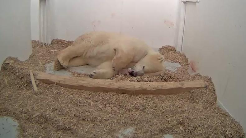 Ein neuer Russe in der Stadt: Eisbären-Baby im Tierpark Berlin geboren