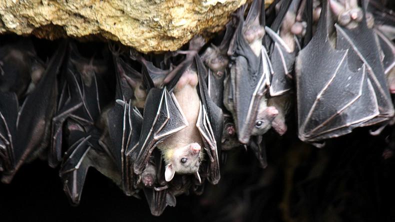 Fliegender Alptraum: 200.000 Fledermäuse plagen australische Kleinstadt