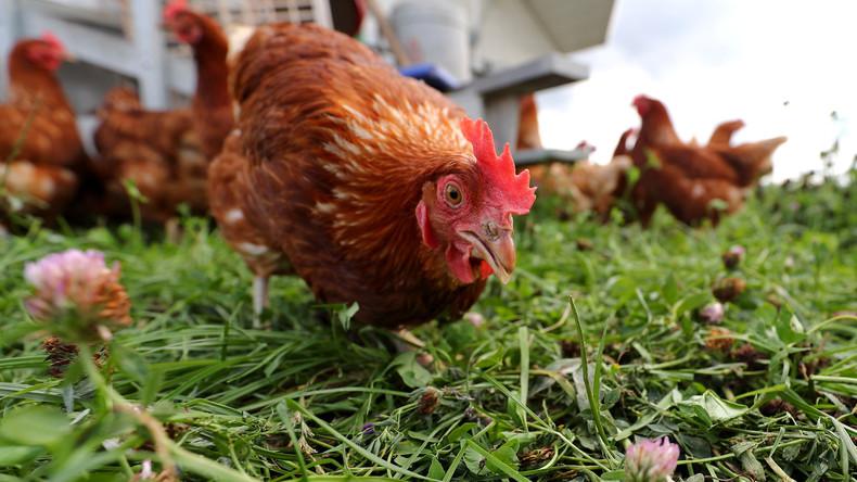 Das Schweigen der Hühner ist beendet: KI entschlüsselt Hühner-Sprache