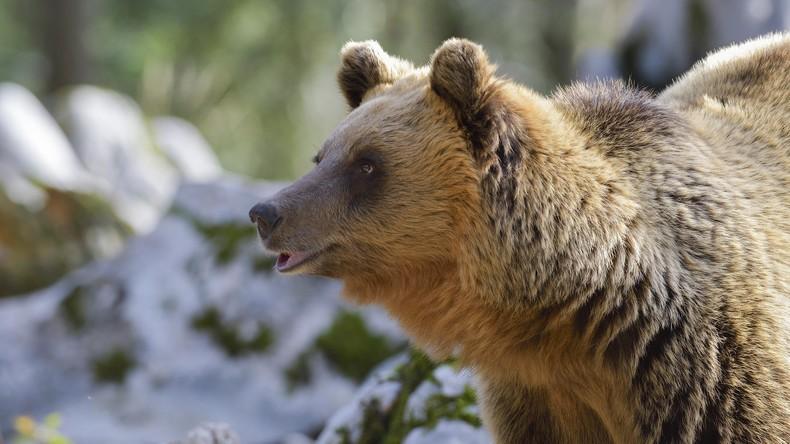 Dänischer Zoo tötet zwei gesunde Braunbären: Tierschützer sehen wirtschaftliche Interessen dahinter