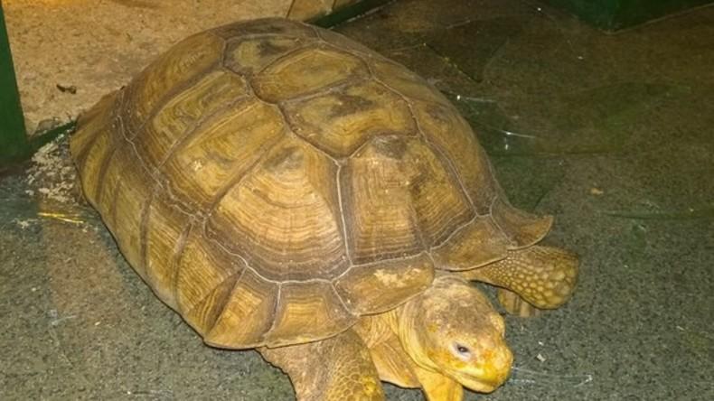 Zwei riesige Schildkröten brechen Fenster auf und fliehen aus Zoo – zweimal an einem Tag