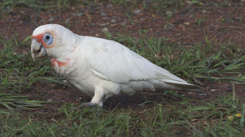 Vogel imitiert iPhone-Klingelton immer, wenn er traurig ist